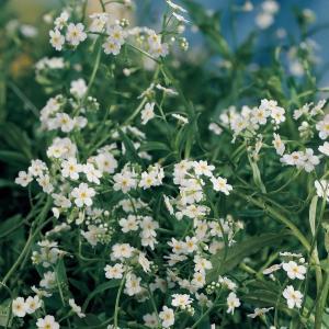 "Wit moerasvergeet-mij-nietje (Myosotis palustris ""alba"") moerasplant - 6 stuks"
