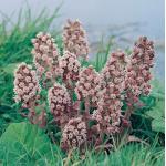 Groot hoefblad (Petasites hybridus) moerasplant