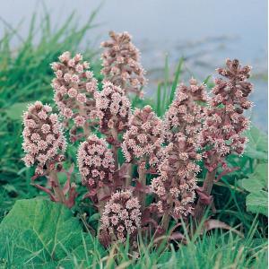 Groot hoefblad (Petasites hybridus) moerasplant - 6 stuks