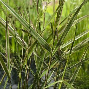 "Kanariegras (Phalaris arundinacea ""Picta"") moerasplant - 6 stuks"