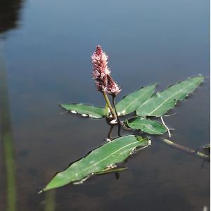 Veenwortel (Polygonum amphibium) drijfplant - 6 stuks