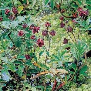 Wateraardbei (Potentilla palustris) moerasplant - 6 stuks