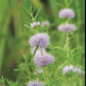 Engelse watermunt (Preslia cervina) moerasplant - 6 stuks
