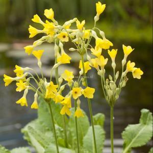 Moerassleutelbloem (Primula florindae) moerasplant - 6 stuks