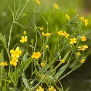 Egelboterbloem (Ranunculus flammula) moerasplant - 6 stuks