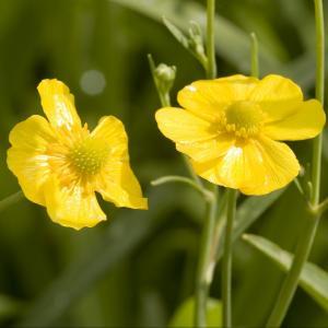 Grote boterbloem (Ranunculus lingua) moerasplant - 6 stuks