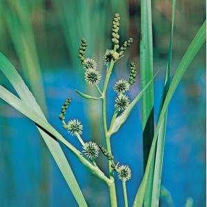 Grote egelskop (Sparganium erectum) moerasplant - 6 stuks