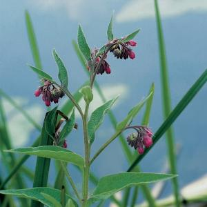 Gewone smeerwortel (Symphytum officinale) moerasplant - 6 stuks