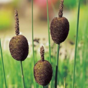 Dwerglisdodde (Typha minima) moerasplant - 6 stuks