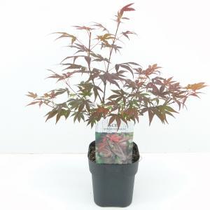 Japanse esdoorn (Acer Palmatum Atropurpureum) - 30+ cm - 6 stuks