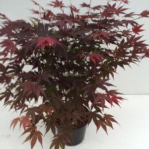 Japanse esdoorn (Acer Palmatum Atropurpureum) - 40-50 cm - 1 stuks