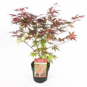 Japanse esdoorn (Acer Palmatum Atropurpureum) - 50-60 cm - 1 stuks