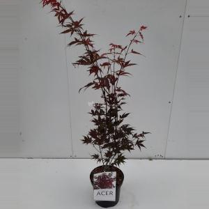 Japanse esdoorn (Acer Palmatum Atropurpureum) - 60-70 cm - 1 stuks