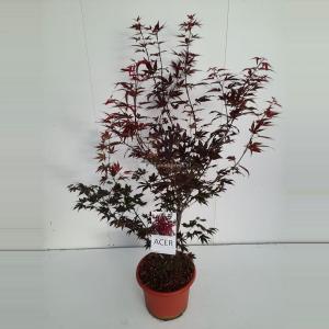 Japanse esdoorn (Acer Palmatum Atropurpureum) - 80-100 cm - 1 stuks