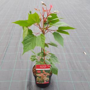 Japanse esdoorn (Acer conspicuum Red Flamingo) heester