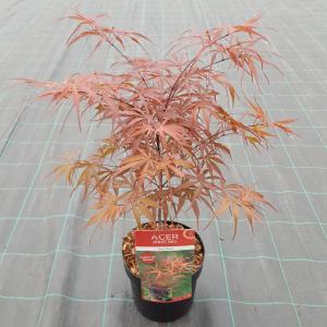 Japanse esdoorn (Acer palmatum Peve Dave) heester