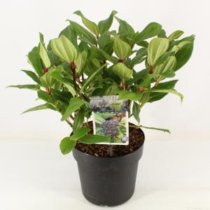 Sneeuwbal (Viburnum Davidii) heester - 30-40 cm (C4.5) - 9 stuks