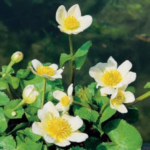 "Witte dotterbloem (Caltha palustris ""alba"") moerasplant - 6 stuks"