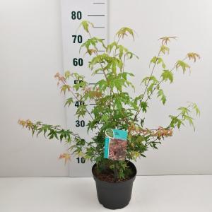 Japanse esdoorn (Acer Palmatum) - 40-50 cm - 7 stuks