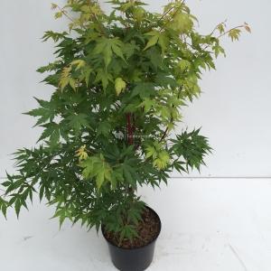 Japanse esdoorn (Acer Palmatum) - 60-70 cm - 1 stuks