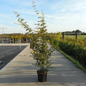 Japanse esdoorn (Acer Palmatum) - 100-125 cm - 4 stuks
