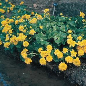 "Dubbele dotterbloem (Caltha palustris ""multiplex"") moerasplant - 6 stuks"