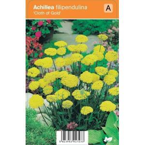 Duizendblad (achillea filipendulina Cloth of Gold) zomerbloeier - 12 stuks