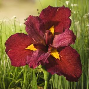 Rode Japanse iris (Iris Louisiana Ann Chowning) moerasplant - 6 stuks