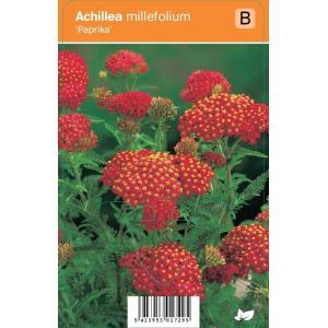 Duizendblad (achillea millefolium Paprika) zomerbloeier - 12 stuks