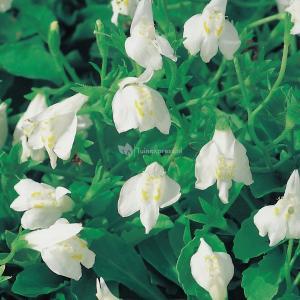 Witte mazus (Mazus reptans alba) moerasplant - 6 stuks