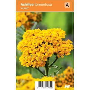 Duizendblad (achillea tomentosa Aurea) zomerbloeier - 12 stuks