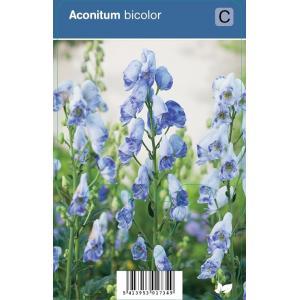 Monnikskap (aconitum bicolor) schaduwplant - 12 stuks