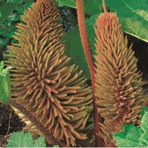 Mammoetblad (Gunnera manicata) moerasplant - 10 stuks
