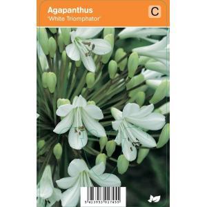 Afrikaanse lelie (agapanthus White Triumphator) zomerbloeier - 12 stuks