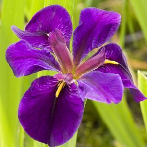 "Paarse Japanse iris (Iris ""Black Gamecock"") moerasplant - 6 stuks"