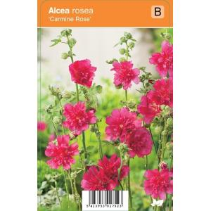 Stokroos (alcea rosea Carmine Rose) zomerbloeier - 12 stuks