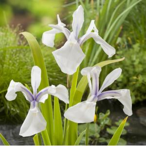 "Witte Japanse iris (Iris Laevigata ""Snowdrift"") moerasplant - 6 stuks"