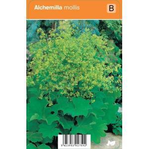 Vrouwenmantel (alchemilla mollis) zomerbloeier - 12 stuks