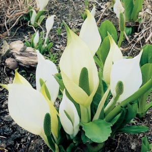 Moerasaronskelk (Lysichiton camtschatcensis) moerasplant - 6 stuks