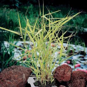 "Bont riet (Phragmites Australis ""variegata"") moerasplant - 6 stuks"
