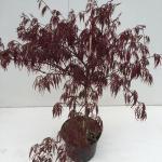 "Japanse esdoorn (Acer palmatum ""Garnet"") heester"