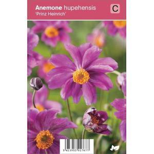 Herfstanemoon (anemone hupehensis Prinz Heinrich) najaarsbloeier - 12 stuks