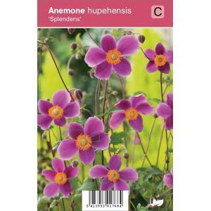 Herfstanemoon (anemone hupehensis Splendens) najaarsbloeier - 12 stuks