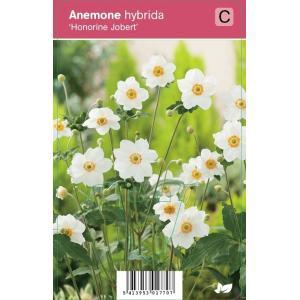 Herfstanemoon (anemone hybrida Honorine Jobert) najaarsbloeier - 12 stuks