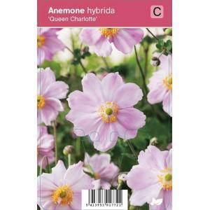 Herfstanemoon (anemone hybrida Queen Charlotte) najaarsbloeier - 12 stuks