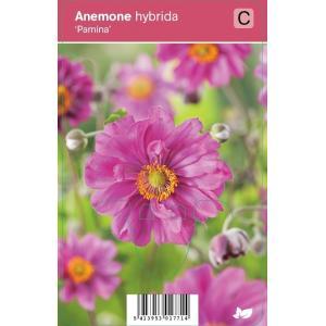 Herfstanemoon (anemone hybrida Pamina) najaarsbloeier - 12 stuks