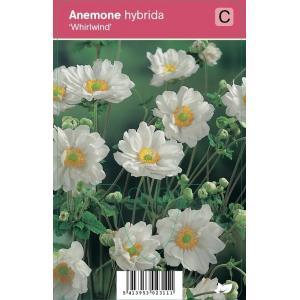 Herfstanemoon (anemone hybrida Whirlwind) najaarsbloeier - 12 stuks