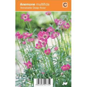 Anemoon (anemone multifida Annabella Deep Rose) zomerbloeier - 12 stuks