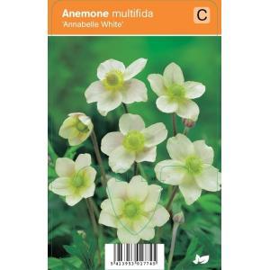Anemoon (anemone multifida Annabelle White) zomerbloeier - 12 stuks