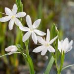 "Witte kafferlelie (Schizostylis coccinea ""alba"") moerasplant"
